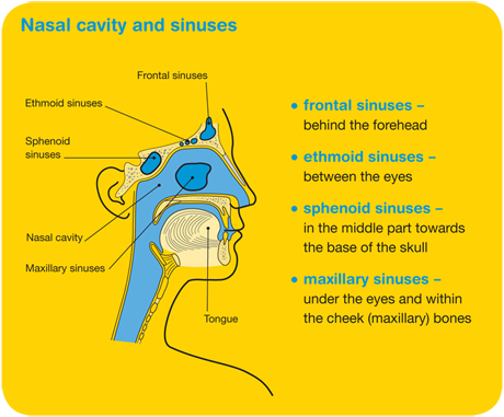 Nasal cavity and sinuses diagram