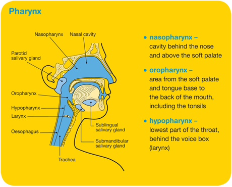 Pharynx diagram